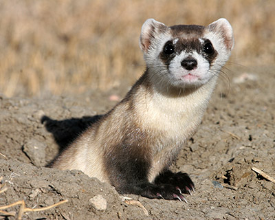 A picture of a Black-Footed Ferret popping its head out from a hole in the ground.