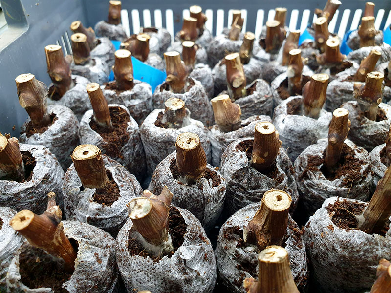 A photograph of canes from wine grape plants.